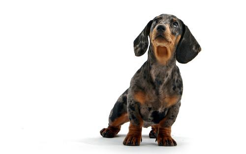 Мраморная такса смотрит на заголовок какой корм выбрать собаки